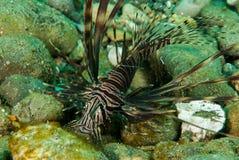 Gemeenschappelijke lionfish in Ambon, Maluku, de onderwaterfoto van Indonesië Royalty-vrije Stock Fotografie