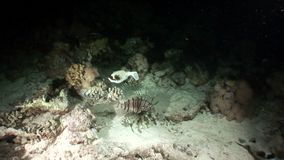 Gemeenschappelijke lionfish en Gemaskeerde diadematus van Arothron van kogelvisvissen in Rode overzees stock footage