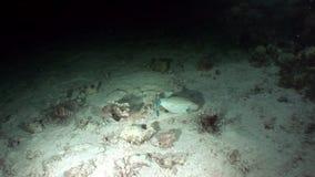 Gemeenschappelijke lionfish en Reuzekogelvisvissen in Rode overzees stock video