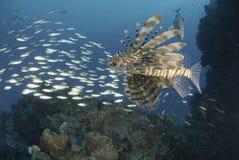 Gemeenschappelijke Lionfish en school van kleine aasvissen Stock Foto's