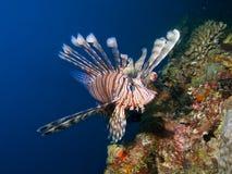 Gemeenschappelijke Lionfish tegen blauwe achtergrond stock afbeeldingen