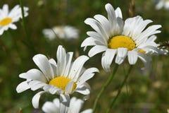 Gemeenschappelijke Madeliefjes die en op Sunny Day bloeien bloeien royalty-vrije stock foto's