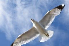 Gemeenschappelijke meeuw die onder een blauwe hemel vliegen royalty-vrije stock foto