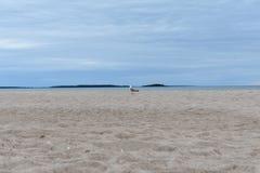 Gemeenschappelijke meeuw die verafgelegen van de kust van Yyteri-strand kijken royalty-vrije stock fotografie