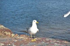 Gemeenschappelijke meeuw die zich op een reusachtige rots bevinden die het strand bekijken royalty-vrije stock fotografie