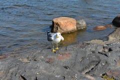 Gemeenschappelijke meeuw die zich op een reusachtige rots door het strand bevinden stock afbeeldingen