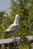 Gemeenschappelijke meeuw of Larus-canus van erachter Royalty-vrije Stock Foto