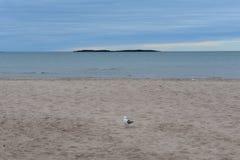 Gemeenschappelijke meeuw op een wit zandstrand royalty-vrije stock foto