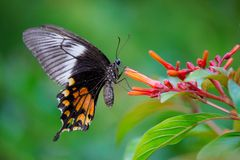 Gemeenschappelijke mormoonse vlinder Stock Foto
