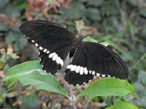 Gemeenschappelijke mormoonse vlinder Royalty-vrije Stock Afbeeldingen