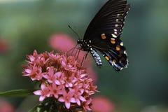 Gemeenschappelijke Mormoonse Vlinder Royalty-vrije Stock Foto