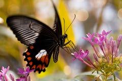 Gemeenschappelijke mormoonse vlinder Stock Afbeelding