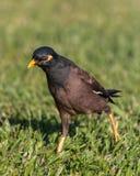 Gemeenschappelijke Myna Bird Royalty-vrije Stock Foto