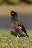 Gemeenschappelijke Myna Bird Stock Foto