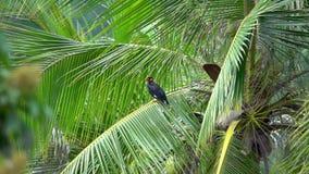 Gemeenschappelijke Myna of Indische Myna Acridotheres Tristis Sitting op Palm stock footage