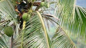 Gemeenschappelijke Myna of Indische Myna Acridotheres Tristis Sitting op Palm stock video