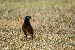 Gemeenschappelijke mynahvogel Royalty-vrije Stock Foto's