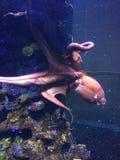 Gemeenschappelijke Octopus Stock Fotografie