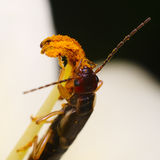 Gemeenschappelijke oorwurm die (Forficula-auricularia) stuifmeel eten Stock Foto's