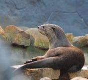 Gemeenschappelijke otter of Europese otter Stock Foto's