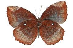 Gemeenschappelijke palmflyvlinder Stock Afbeelding