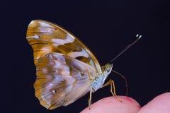 Gemeenschappelijke Pasha vlinder Royalty-vrije Stock Foto's