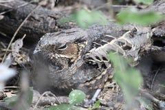 Gemeenschappelijke Pauraque (Nyctidromus-albicollis) Royalty-vrije Stock Foto's