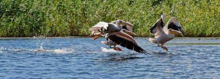 Gemeenschappelijke pelikanen van Donau royalty-vrije stock foto's