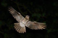 Gemeenschappelijke Potoo, Nyctibius-griseus, nachtelijke tropische vogel tijdens de vlucht met open vleugels, de scène van de nac stock afbeeldingen
