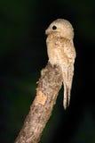Gemeenschappelijke Potoo, Nyctibius-griseus, nachtelijke tropische vogel tijdens de vlucht met open vleugels, de scène van de nac stock fotografie