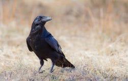 Gemeenschappelijke Raaf - Corvus corax Stock Foto