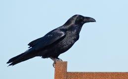 Gemeenschappelijke Raaf (Corvus corax). Stock Afbeeldingen
