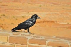 Gemeenschappelijke Raaf (Corvus corax) royalty-vrije stock afbeelding