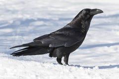 Gemeenschappelijke Raaf (Corvus corax) Royalty-vrije Stock Fotografie