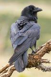 Gemeenschappelijke Raaf (Corvus corax) Royalty-vrije Stock Foto's