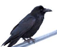 Gemeenschappelijke Raaf Corvus corax die op metaalbar wordt neergestreken Royalty-vrije Stock Foto
