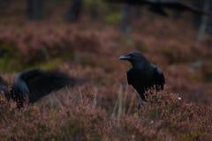 Gemeenschappelijke raaf in donker bos Stock Foto