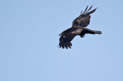 Gemeenschappelijke Raven Flying in een Blauwe Hemel royalty-vrije stock foto