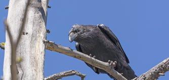Gemeenschappelijke Raven Looking Down van een Boom royalty-vrije stock afbeeldingen