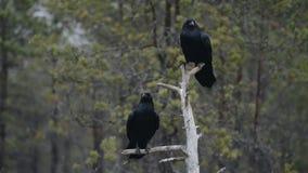Gemeenschappelijke Raven op boom stock video