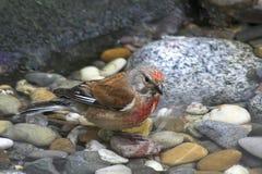 Gemeenschappelijke Redpoll - mannetje stock fotografie