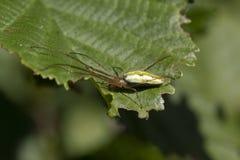 Gemeenschappelijke rekspin, lang-jawed orb-wever spin die, Tetragnatha-extensa, en op een blad op een zonnige dag lopen rusten, S stock fotografie