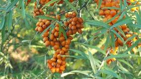 Gemeenschappelijke rhamnoides van duindoornhippophae, boom en de dragende bes van het struikfruit, installatie in familie Elaeagn stock video