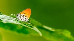 Gemeenschappelijke Ruikertje (Drupadia-ravindra) Vlinder stock afbeeldingen