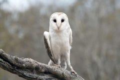 Gemeenschappelijke Schuuruil (alba Tyto) Stock Foto's