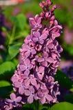 Gemeenschappelijke Sering (vulgaris Syringa) Stock Fotografie