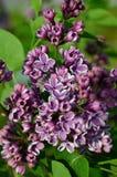 Gemeenschappelijke Sering (vulgaris Syringa) Royalty-vrije Stock Afbeelding