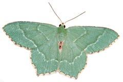 Gemeenschappelijke Smaragd, aestivaria Hemithea Royalty-vrije Stock Afbeeldingen
