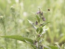 Gemeenschappelijke smeerwortel die op een weide bloeien stock fotografie