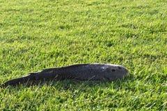 Gemeenschappelijke snakehead; Channastriata Royalty-vrije Stock Foto's